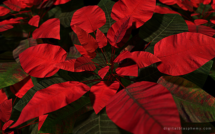 Poinsettia -- Christmas 2004